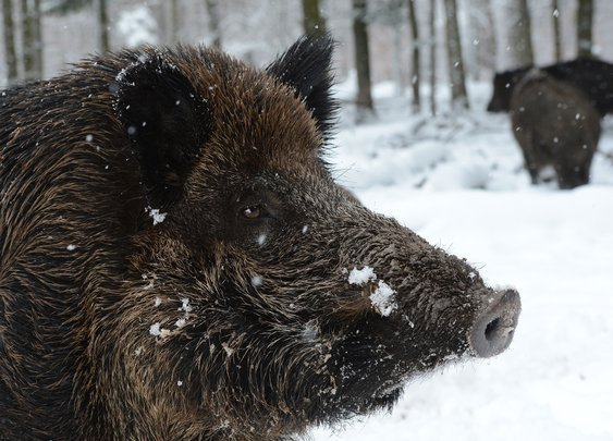 Radioactive wild boars rampaging around Fukushima nuclear site | Asia | News | The Independent