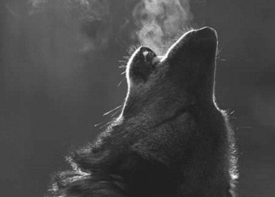 How To REALLY Be Alpha Like The Wolf   The Art Of Manliness