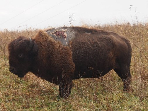 Sparky the Bison - U.S. Fish and Wildlife Service, Open Spaces Blog