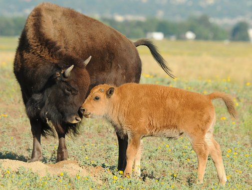 15 Facts About Our National Mammal: The American Bison