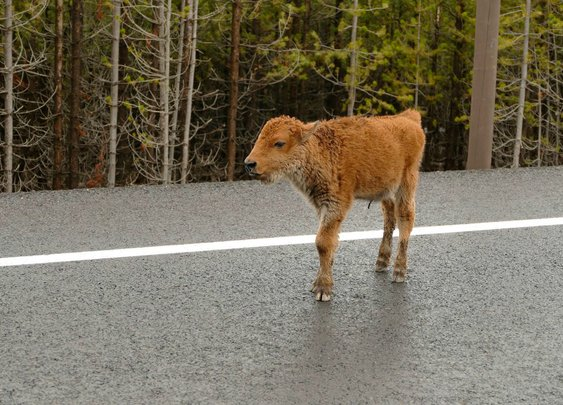 Lessons from a Baby Bison's Death: Don't. Touch. Wildlife