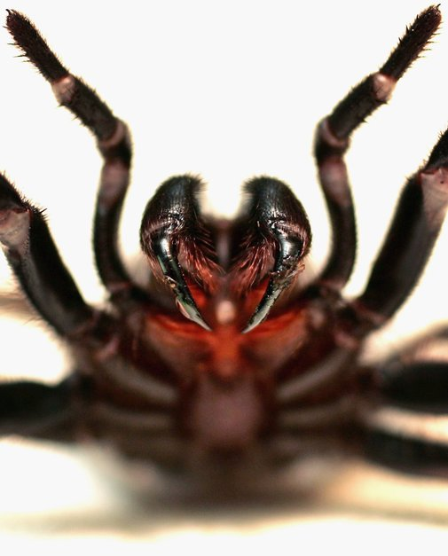 Spider in black - The world's most dangerous spiders (GRAPHIC IMAGES) - Pictures - CBS News