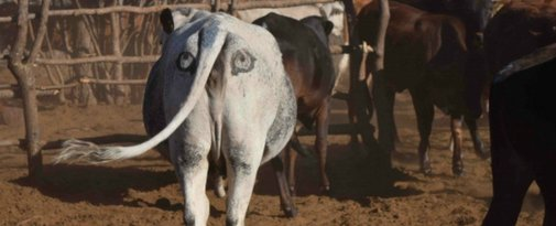 Scientists are painting eyes on cows' butts to stop lions getting shot - ScienceAlert