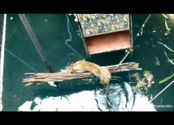 Village Rescues Leopard Rescued From A 60 foot Well
