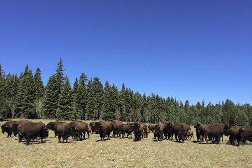 Scheming Buffalo Herd Roams Amok at Grand Canyon - WSJ
