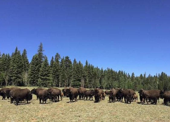 Scheming Buffalo Herd Roams Amok at Grand Canyon - WSJ