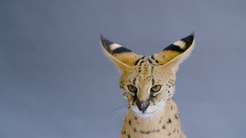 "I'm not a cat guy but This ""Giraffe Cat"" is pretty cool"