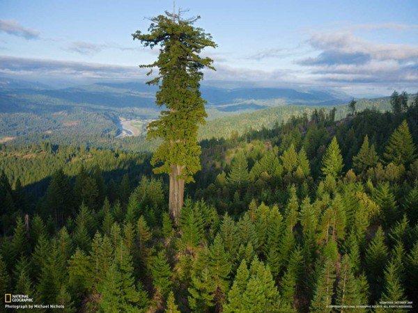 Meet Hyperion, the World's Tallest Tree