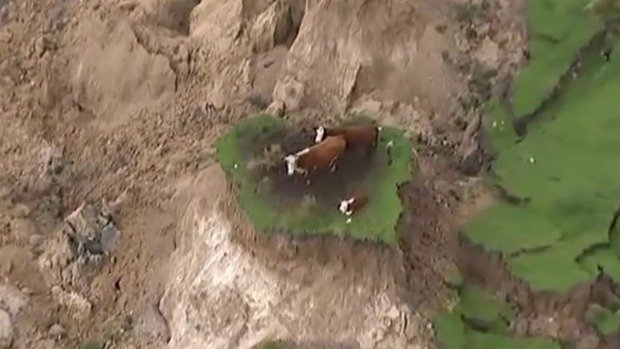 Cow rescue attempt considered by specialist SPCA unit | Stuff.co.nz
