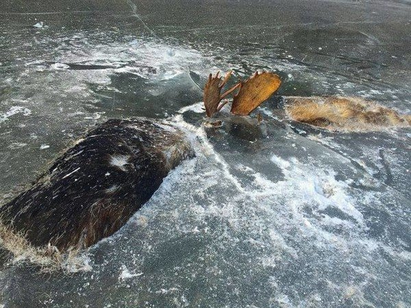 Found: Two Moose Frozen Together in a Final Battle | Atlas Obscura