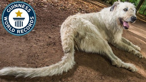 Dog with the longest tail Guinness World Records