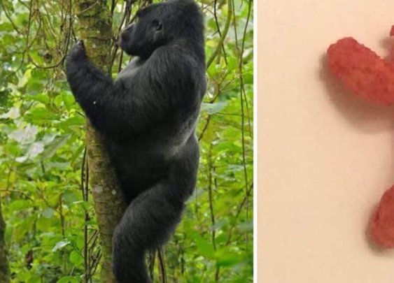 Harambe-shaped Cheeto reaches bid of nearly $100K on eBay