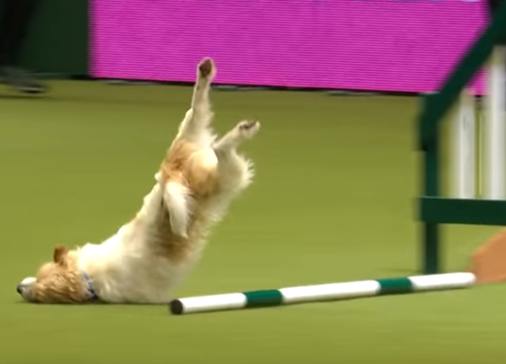 WATCH: Olly The Jack Russell Terrier Face-Plants His Way To Glory At Crufts Dog Show : The Two-Way : NPR