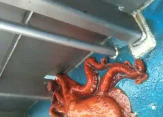 Incredible Octopus Escape Through A Small Hole !!! - YouTube