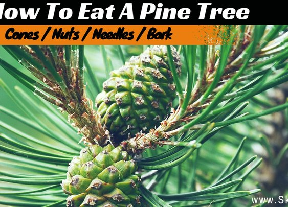 Eating Pine - How To Eat A Pine Tree To Survive