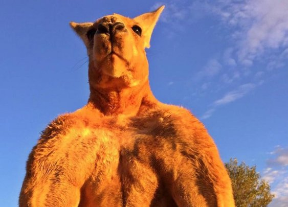 That strong as hell kangaroo may be getting his own statue