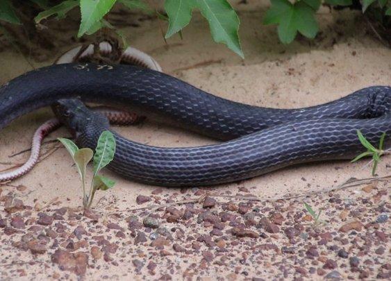 Snake Regurgitates Live Snake