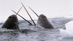 Awesome Jobs: Meet Martin Nweeia, Narwhal Expert (and Dentist!) - Tested