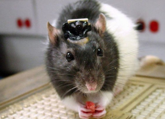 Rats with HUMAN brains ethical nightmare of lab-built rodent hybrids