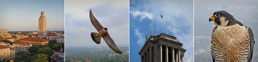 Falcon Cam