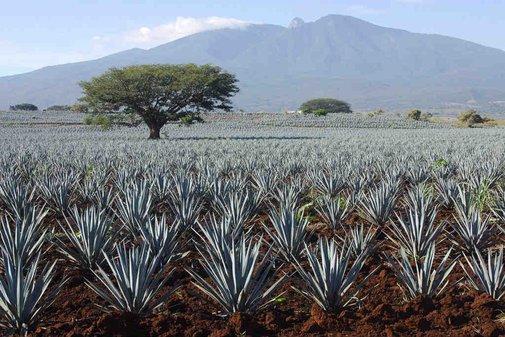 Tequila vs. Mezcal Cheat Sheet