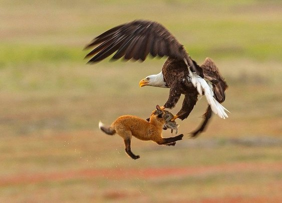 Eagle snatches fox holding rabbit in mouth...