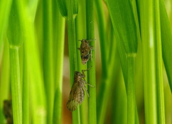 Host plants tell insects when to grow longer wings and migrate