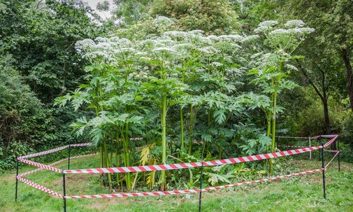 Giant Hogweed Is the Skin-Burning, DNA-Attacking Plant of Your Nightmares