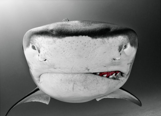 Underwater Shark Photography by Todd Bretl