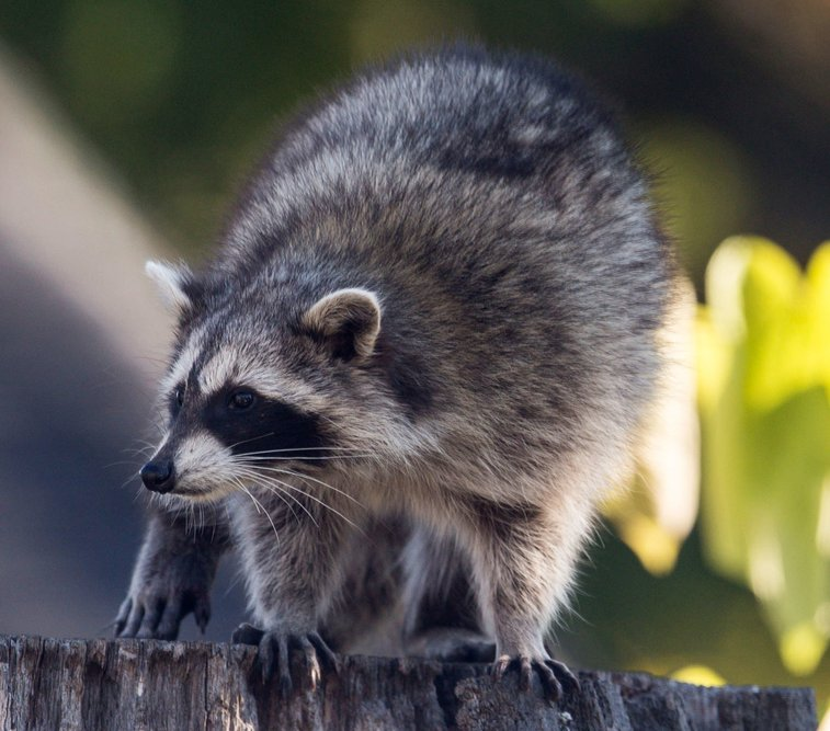 There's No Stopping Toronto's 'Uber-Raccoon'
