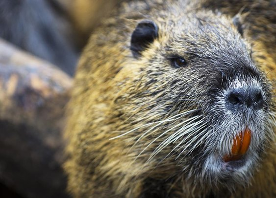 A Brief History of Castoreum, the Beaver Butt Secretion Used as Flavoring