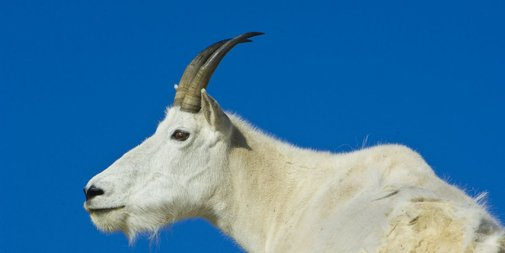 Mountain Goats Are Being Airlifted Out of a National Park Because They Crave Human Pee
