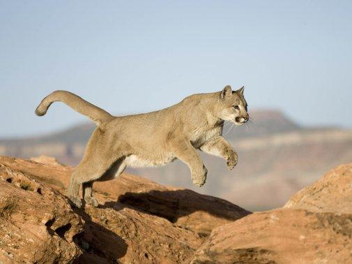 Colorado Runner Kills Mountain Lion In Self-Defense