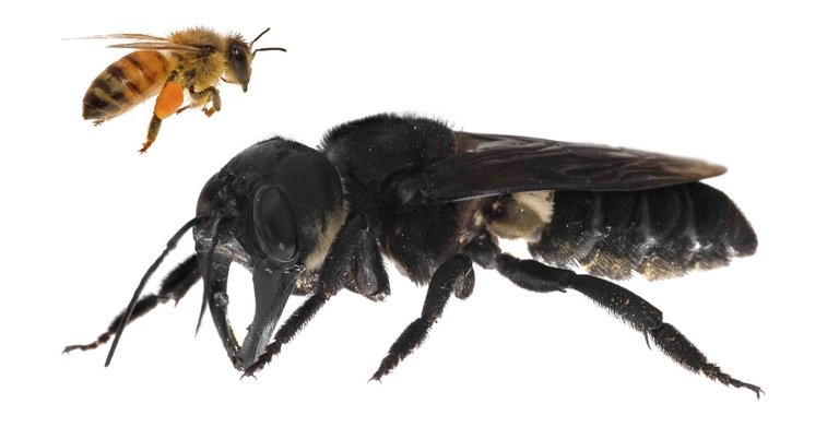 The worlds largest bee rediscovered after 38 years