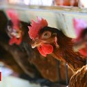 Chickens 'gang up' to kill intruder fox on French farm
