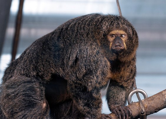 Insanely muscular monkey spotted in Finland