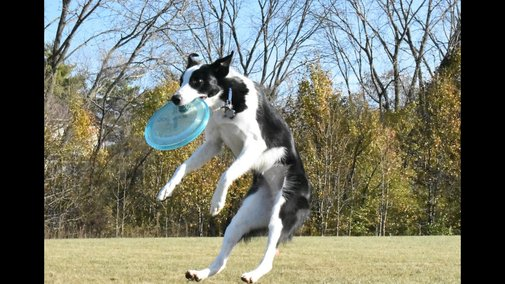 Disc Dog - How to Start Competing with your Dog 1 of 3 - YouTube