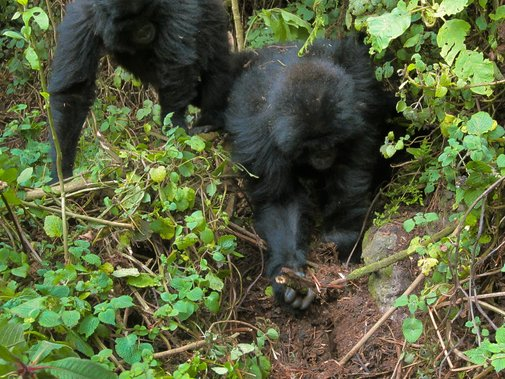 Gorilla Youngsters Seen Dismantling Poachers' Traps