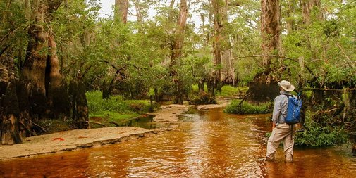 2,624-year-old Tree Discovered in North Carolina Swamp Is One of the Oldest on Earth