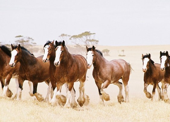 Beyond Budweiser: Understanding the Clydesdales' Connection to American Beer History | VinePair