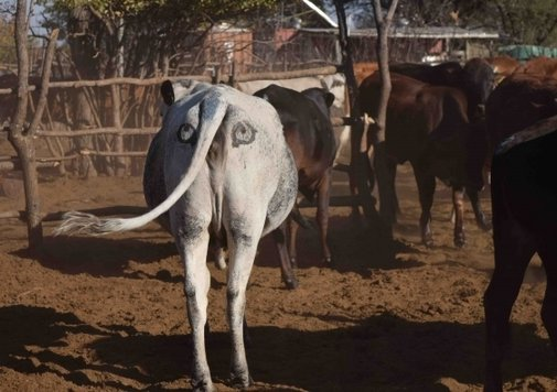 Why It May Make Sense to Draw Eyes on Cows' Butts | Now I Know