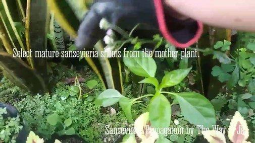 Sansevieria Trifasciata Laurentii Propagation - YouTube