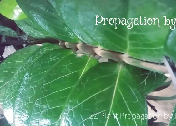 ZZ Plant Propagation by Stem Cutting and Leaves - YouTube