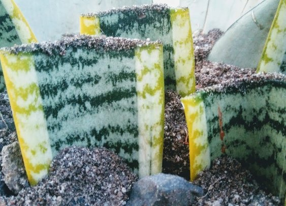 Snake Plant Propagation by  Leaf Cuttings in Sand - YouTube