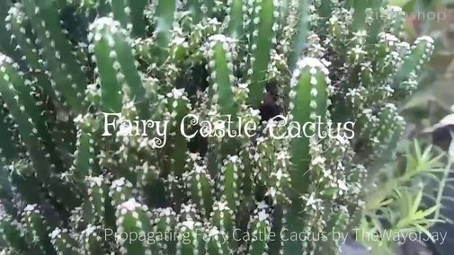 Propagate Fairy Castle Cactus - YouTube
