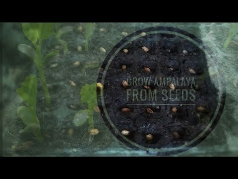 Grow Bitter Gourd From Seed | Ampalaya Seed Germination - YouTube