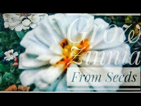 Grow Zinnia From Seeds | Zinnia Flower Garden Project - YouTube