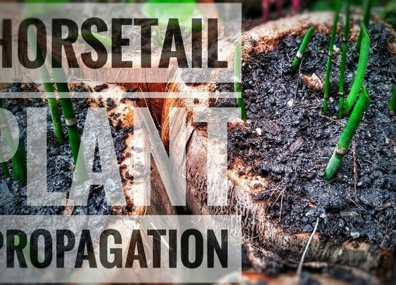 Propagate Horsetail Plant | Equisetum Hyemale Propagation - YouTube