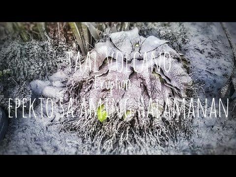 Taal Volcano Eruption : Epekto ng Pagsabog ng Bulkang Taal sa Aming Halaman | January 13, 2020 - YouTube