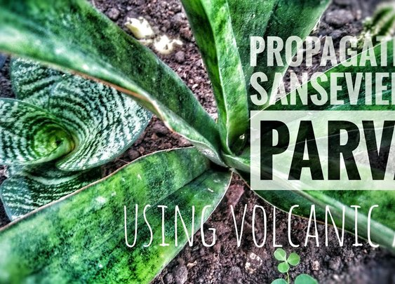 Propagate Sansevieria Parva Through Division Using Volcanic Ash - YouTube